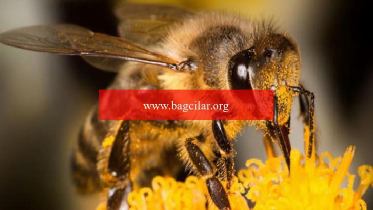 Türkiye'deki arıların gen haritası oluşturulacak